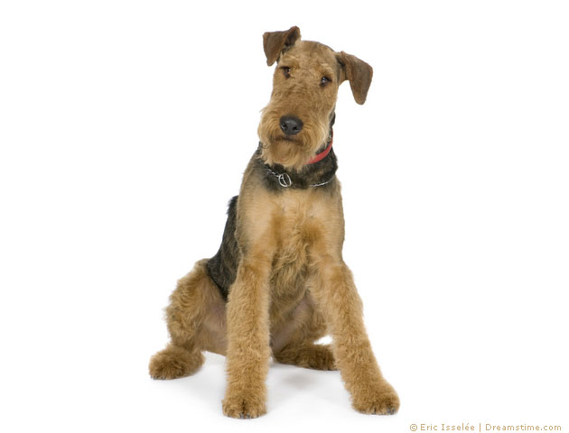 Airedale Terrier- Pflege