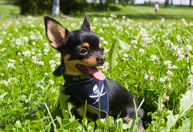 Chihuahua- Pflege