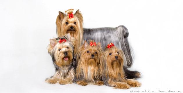 Yorkshire Terrier- Pflege