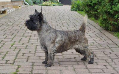 Cairn Terrier- Pflege