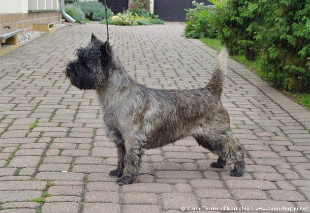 Cairn-Terrier Pflege