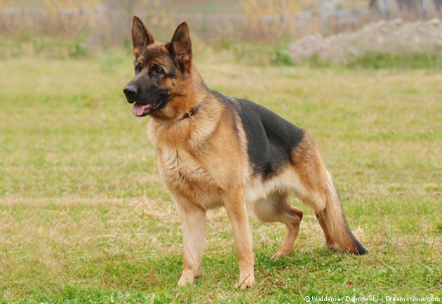 Deutscher Schäferhund Pflege