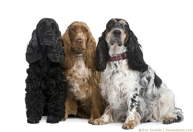 English Cocker Spaniel- Pflege