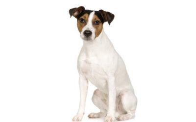 Parson Russell Terrier- Pflege