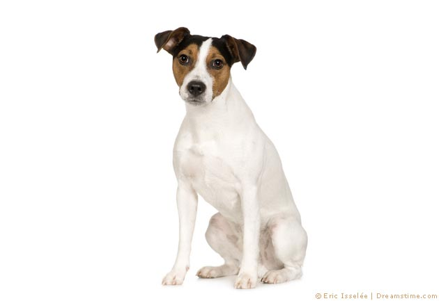 Parson Russell Terrier- Pflege